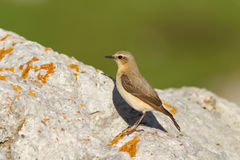 Female Northern Wheatear Stock Photos