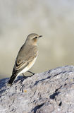 A female Northern Wheatear (Oenanthe oenanthe) Royalty Free Stock Photography