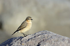 A Female Northern Wheatear (Oenanthe oenanthe) Stock Photo