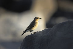 A Female Northern Wheatear (Oenanthe oenanthe) Royalty Free Stock Photos