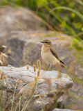 Female Northern Wheatear Stock Photo