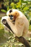 Female Northern white-cheeked gibbon Royalty Free Stock Image