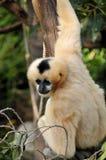 Female Northern white-cheeked gibbon Royalty Free Stock Photos
