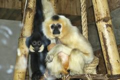 Female Northern white-cheeked gibbon, Nomascus leucogenys with baby Stock Photography