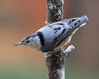 Female Nuthatch in Fall Royalty Free Stock Images