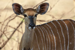 Female Nyala Royalty Free Stock Photos