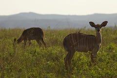 Female Nyala on African plains Royalty Free Stock Image