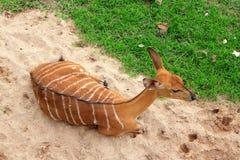 Female nyala Stock Photo