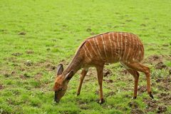 Female Nyala Antelope Royalty Free Stock Photography