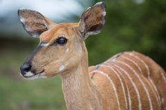 Female Nyala Antelope Stock Photo