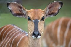 Female Nyala Antelope Stock Image