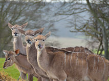 Female Nyala Antelopes. Also known as striped deer Royalty Free Stock Images
