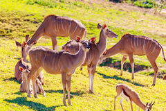 Female Nyala Antelopes Royalty Free Stock Photography