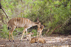 Female Nyala and baby in Kruger National park, South Africa. Specie Tragelaphus angasii family of bovidae, female Nyala and baby in Kruger National park, South royalty free stock photo