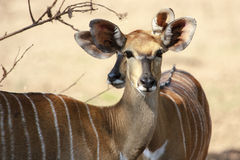 Female Nyala Stock Photo