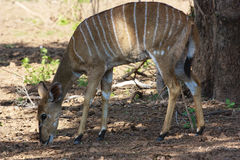 Female Nyala. Grazing under a tree in the Kruger Park Stock Photography