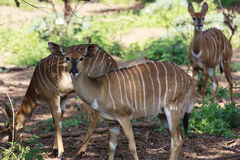 Female Nyala. Grazing under a tree in the Kruger Park Stock Images