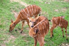 Female nyala Stock Image