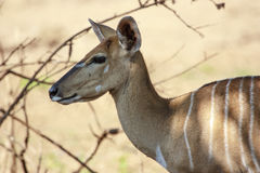 Female Nyala Stock Photography