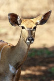 Female Nyala Royalty Free Stock Image