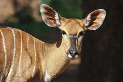 Female Nyala Royalty Free Stock Images