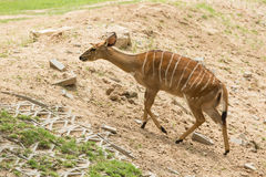 Female Nyala (striped deer) Royalty Free Stock Images