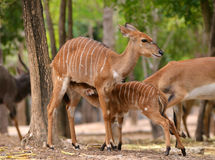 Female nyala with their young Royalty Free Stock Images