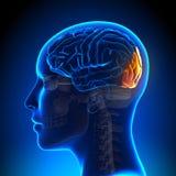 Female Occipital Lobe - Anatomy Brain Royalty Free Stock Photo