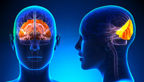 Female Occipital Lobe Brain Anatomy - blue concept Royalty Free Stock Images