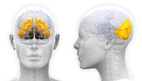 Female Occipital Lobe Brain Anatomy - isolated on white Stock Image