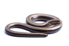 Free Female Of Slowworm (Anguis Fragilis) Isolated On White Royalty Free Stock Photography - 32044507