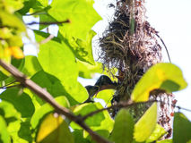 Female Olive-backed sunbird feeding her child Royalty Free Stock Image