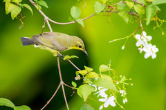 Female Olive-backed sunbird Royalty Free Stock Image
