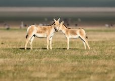 A female onager Equus hemionus with a foal stands on the golden grass. Photo was taken in Askania Nova reservat royalty free stock images
