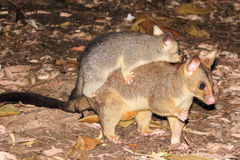 Female opossum with her young on her back Royalty Free Stock Images