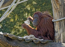 Female orang-outang with scrap of cloth Royalty Free Stock Images