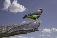 Female Orange-bellied Parrot Royalty Free Stock Photo