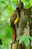 Female Orange-breasted Trogon (Harpactes oreskios) Stock Images
