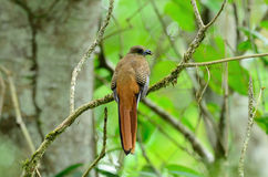 Female Orange-breasted Trogon (Harpactes oreskios) Stock Photo