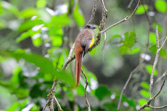 Female Orange-breasted Trogon (Harpactes oreskios) Stock Images