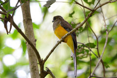 Female Orange-breasted Trogon (Harpactes oreskios) Royalty Free Stock Photos