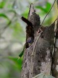 Female Orange-breasted Trogon (Harpactes oreskios) Stock Photo