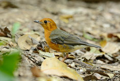 Female Orange-headed Thrush (Zoothera citrina) Stock Images