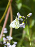 Female orange tip butterfly Stock Images