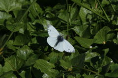 Female Orange Tip Butterfly (Anthocharis cardamines) Royalty Free Stock Image