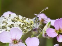 Female orange tip butterfly on flower. The orange tip butterfly Anthocaris cardamines female sitting on cuckooflower stock photography