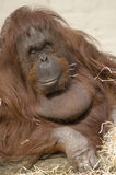 Female Orangutan. Looking at viewer Royalty Free Stock Images