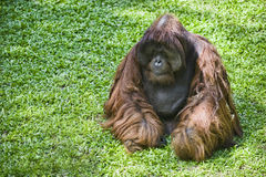 Female orangutan Royalty Free Stock Image