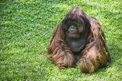 Female orangutan Royalty Free Stock Image