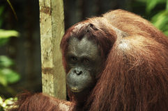 Female Orangutan Stock Photos